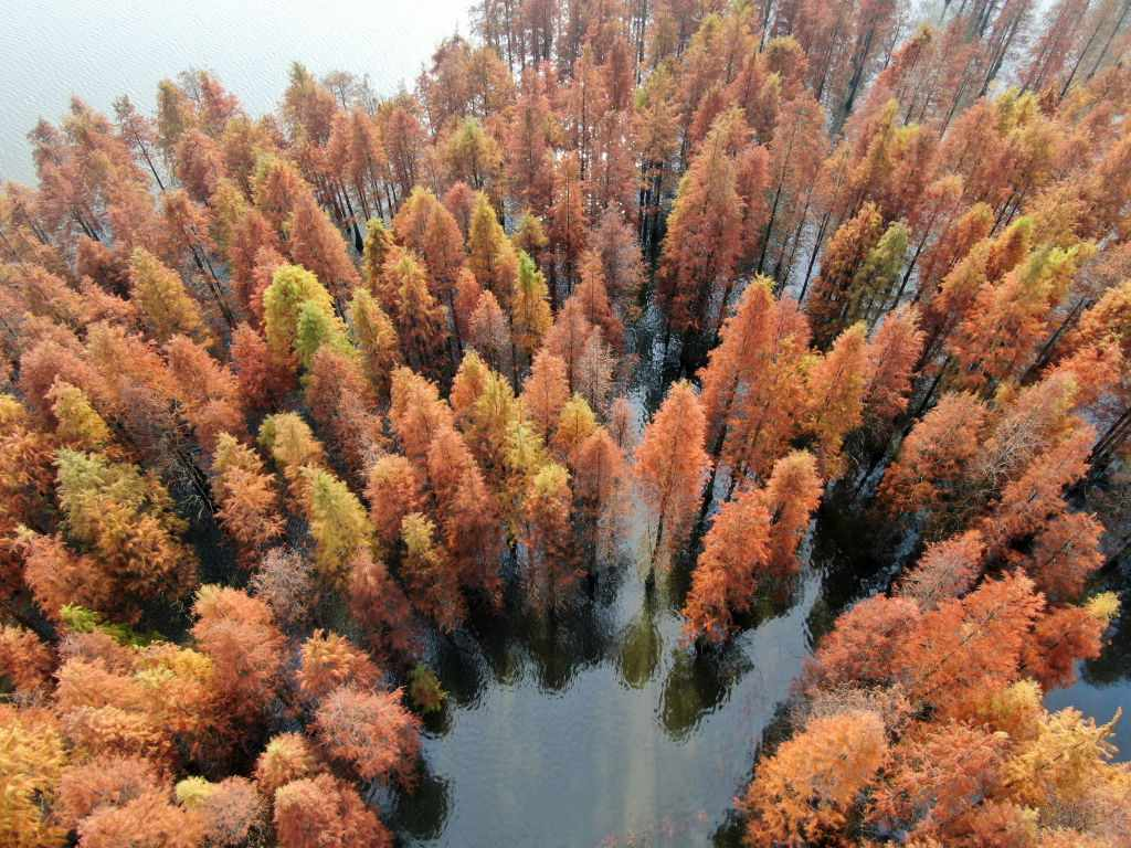 Metasequoias in fall.