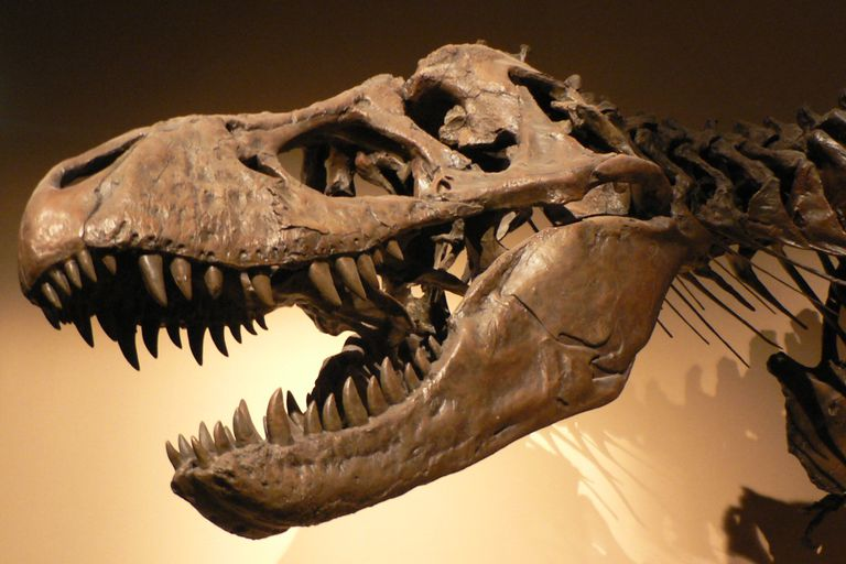tan t-rex skull and neck showing bared teeth