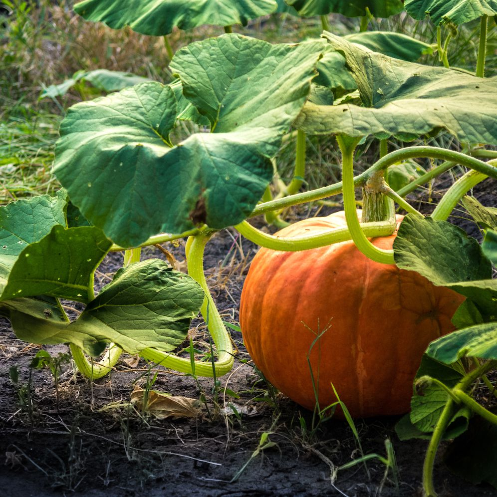 When To Plant Pumpkins So They Re Ready For Halloween