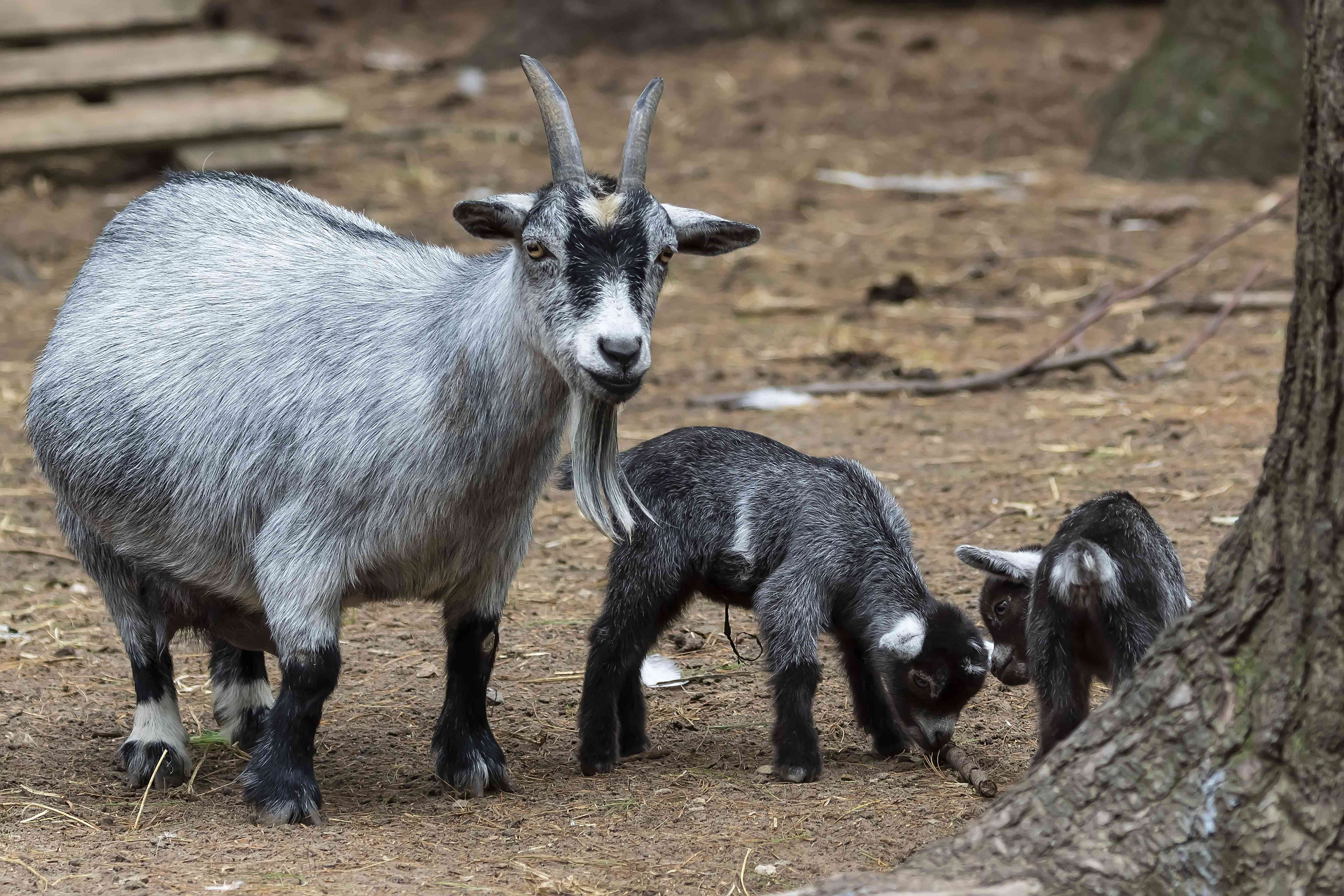 Pygmy goat with its two kids (baby goats)