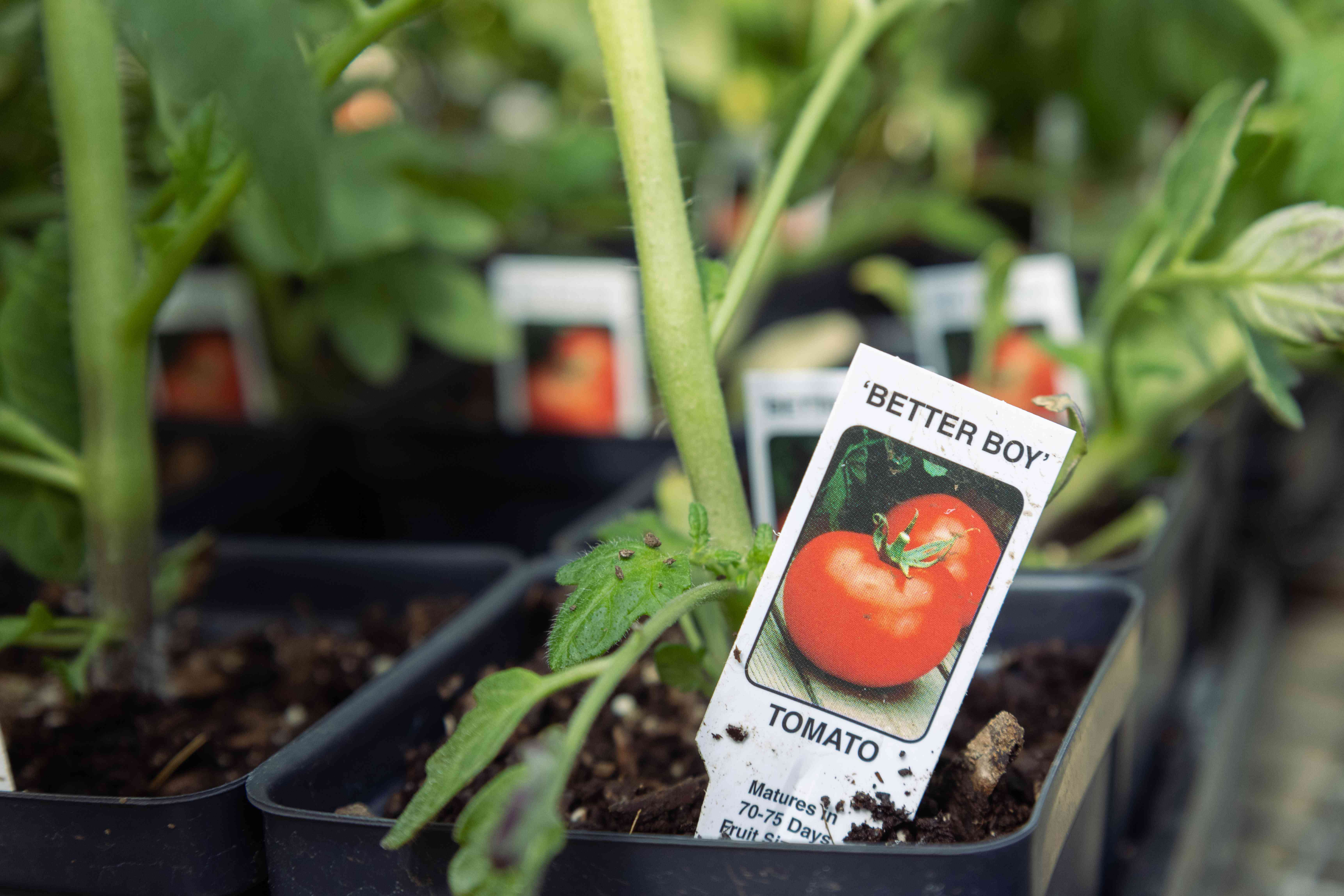 multiple tomato starter plants with label showing