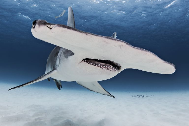 The face of a great hammerhead shark from below swimming near the surface of the ocean.
