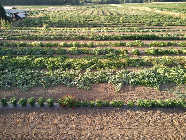 rows and rows of growing vegetables on small farm
