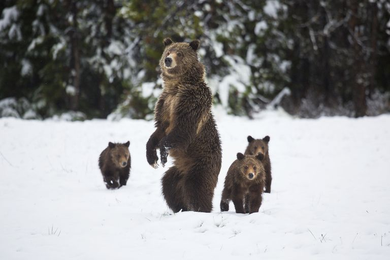 Grizzly sow and cubs in the snow