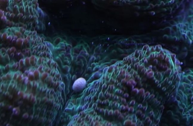 rigid cactus coral larvae