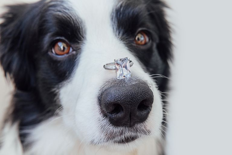A border collie dog with a diamond ring balanced on its nose.