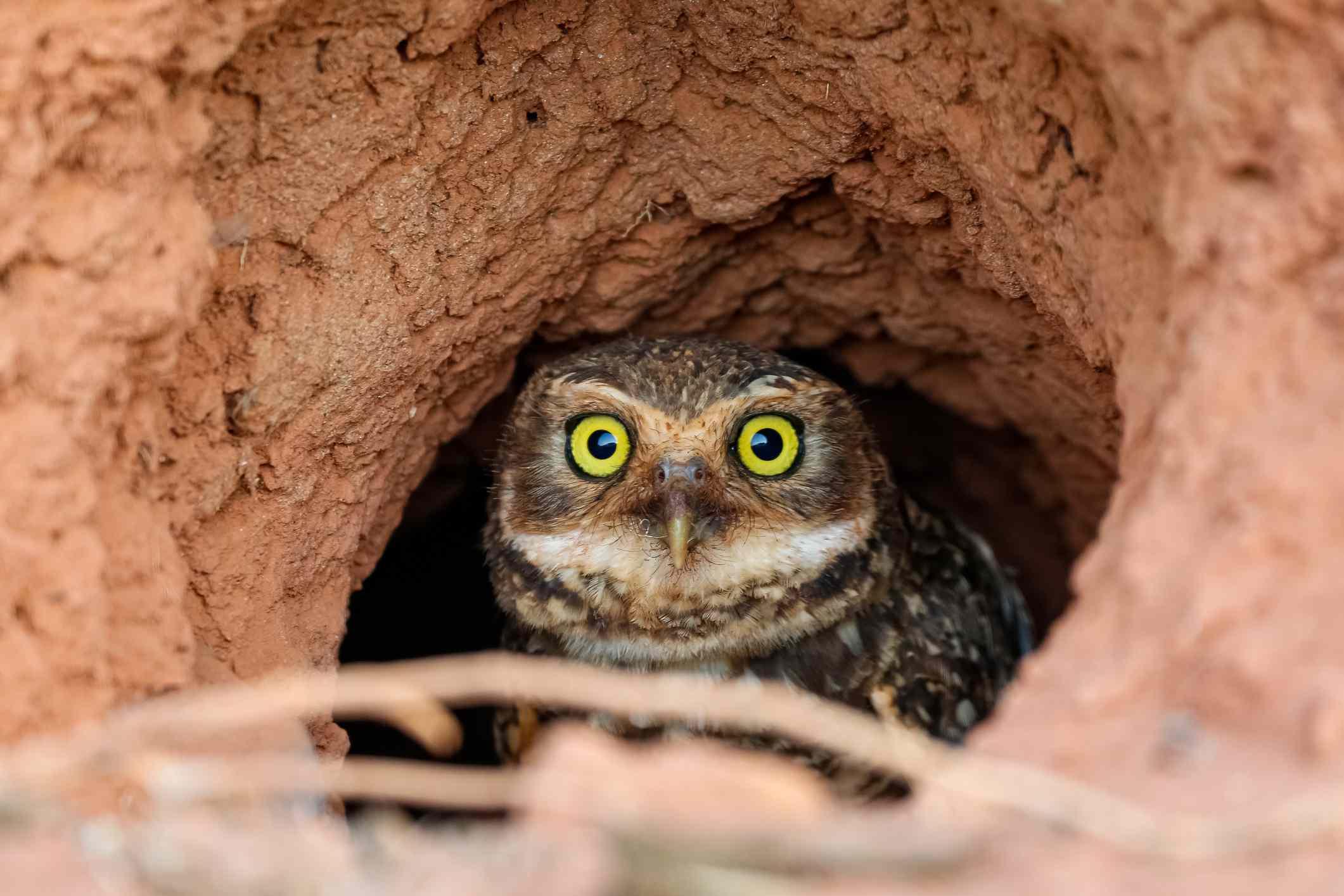 Burrowing owl peeking out of its burrow