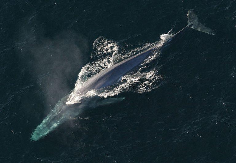 ¿Por qué esta ballena azul nadó en el Mar Rojo?