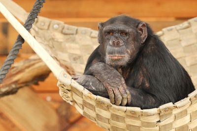 A chimp with gray flecks of hair in his beard.