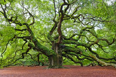 Incredible ancient Live Oak tree with multiple thick branches located on John's Island.