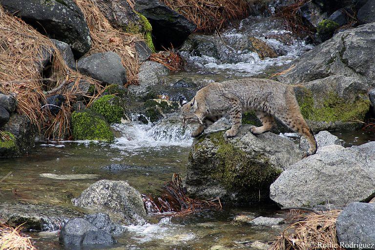A bobcat at Yosemite National Park