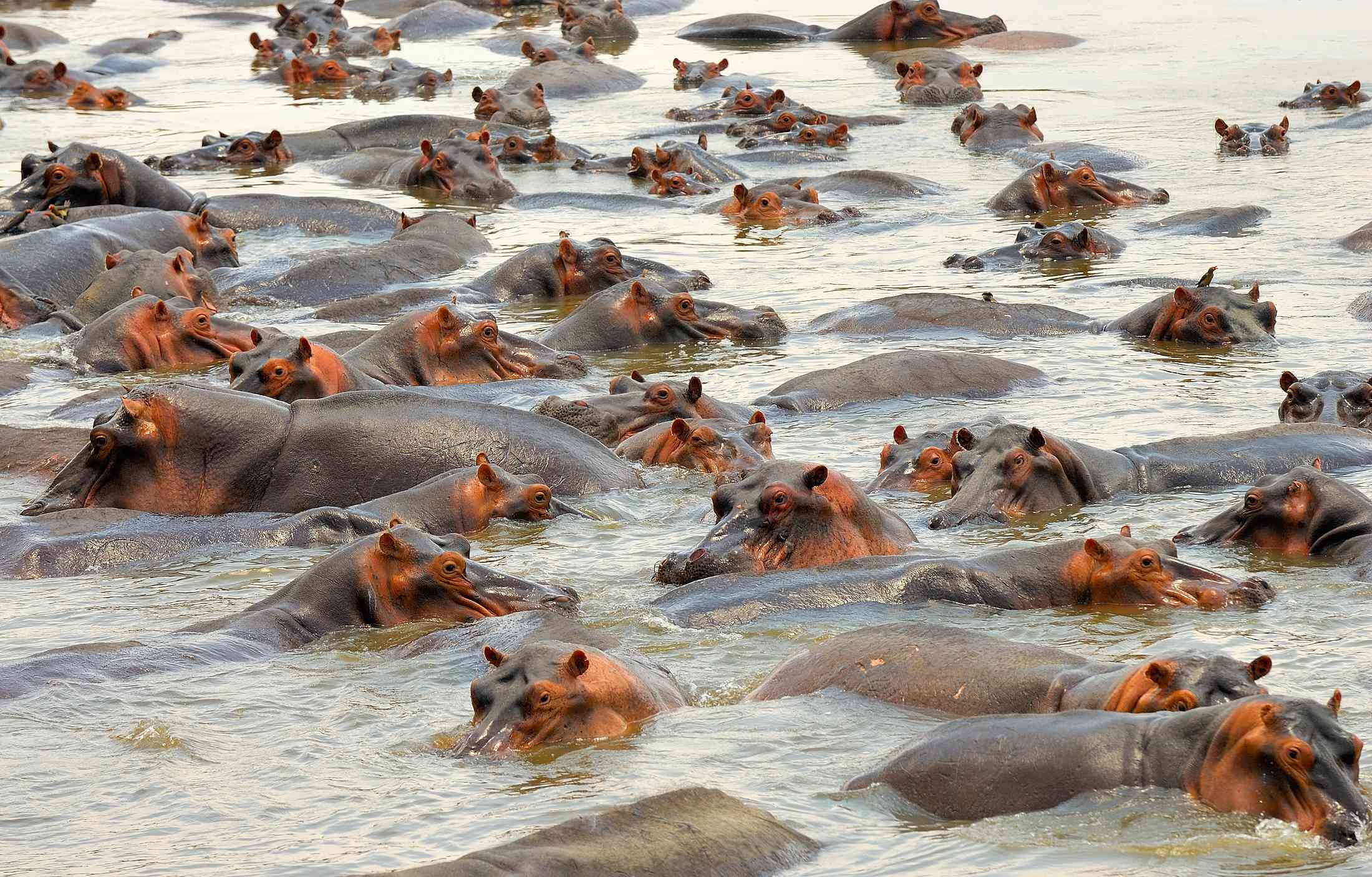 Close up of a group of hippos in the water