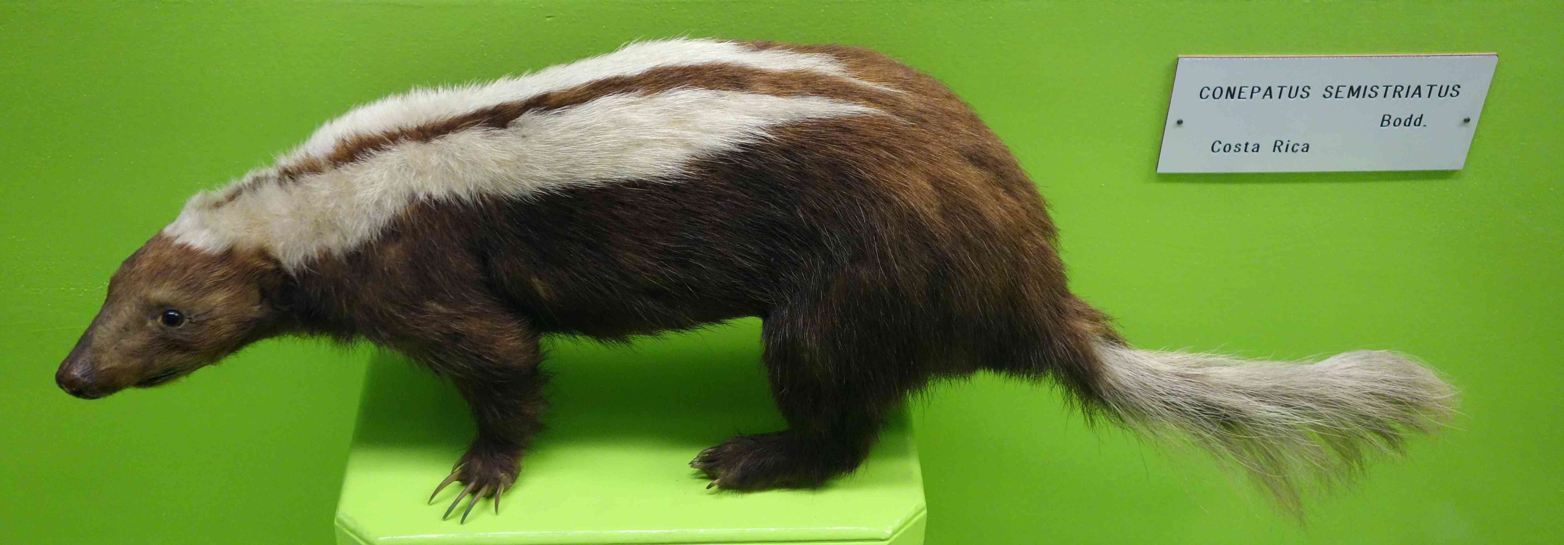 Conepatus semistriatus striped hog-nosed skunk in museum