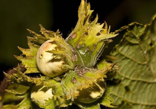 Hazelnuts on a hazelnut tree
