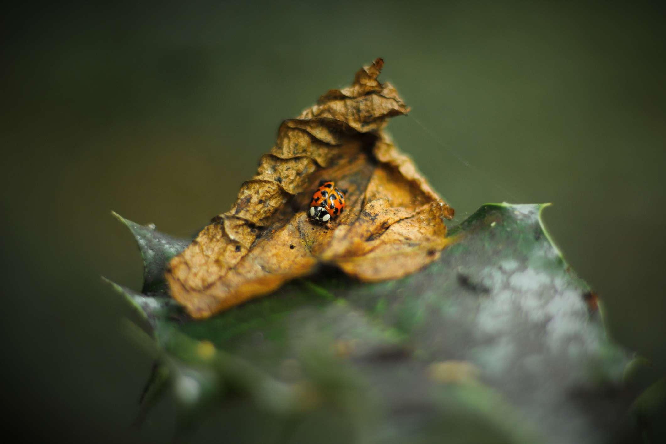 A ladybug on a dry shrivelled brown leaf.