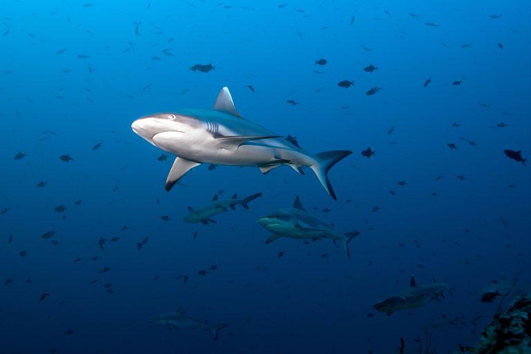 sharks in open water