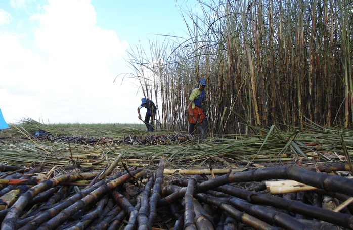 sugarcane workers photo