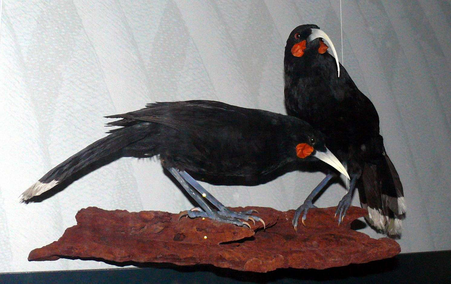 somewhat large black birds with black legs, with white tipped tail feathers, red spots on cheeks and narrow white beaks, one has a sickle shaped curve to beak and on has a shorter straight beak, mounted birds on rock