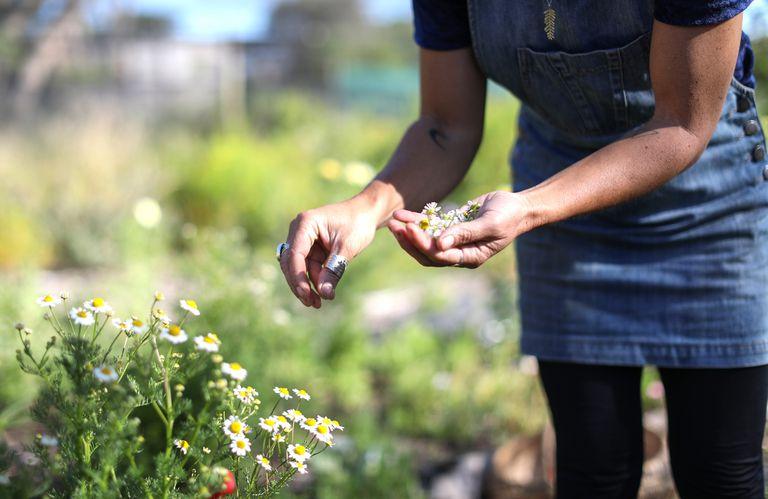 woman picking Chamomile
