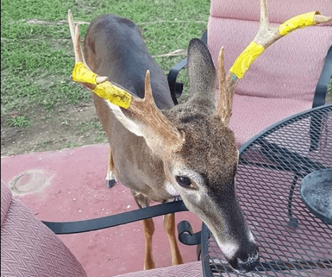 A deer with yellow tape wrapped around his horns.