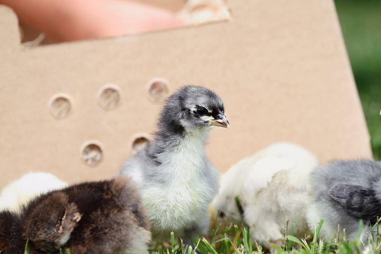Piense dos veces antes de 'comprar polluelos en pánico'