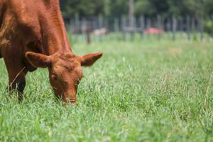 Cow grazing on grass on a sunny day
