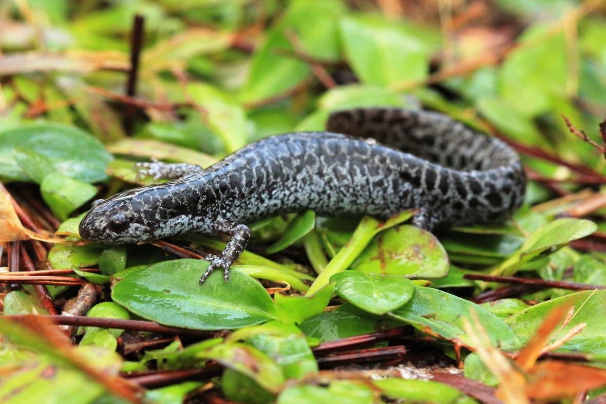 Flatwoods salamander a blue and black leopard spotted salamander