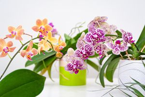 Close-Up Of Pink Orchids Flowers In Pot. Care Of Potted Plants At Home. Phalaenopsis. Orchidaceae.