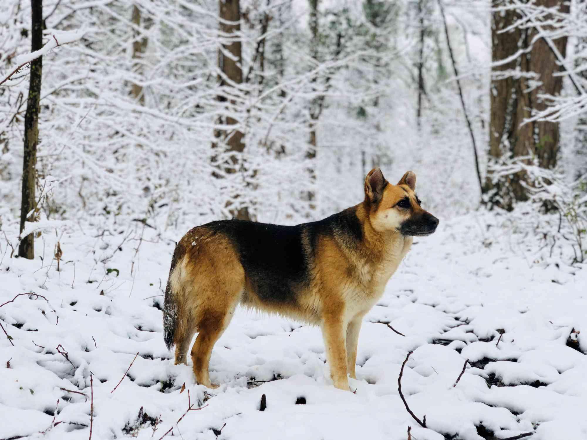 profile of german shepherd standing in snowy forest