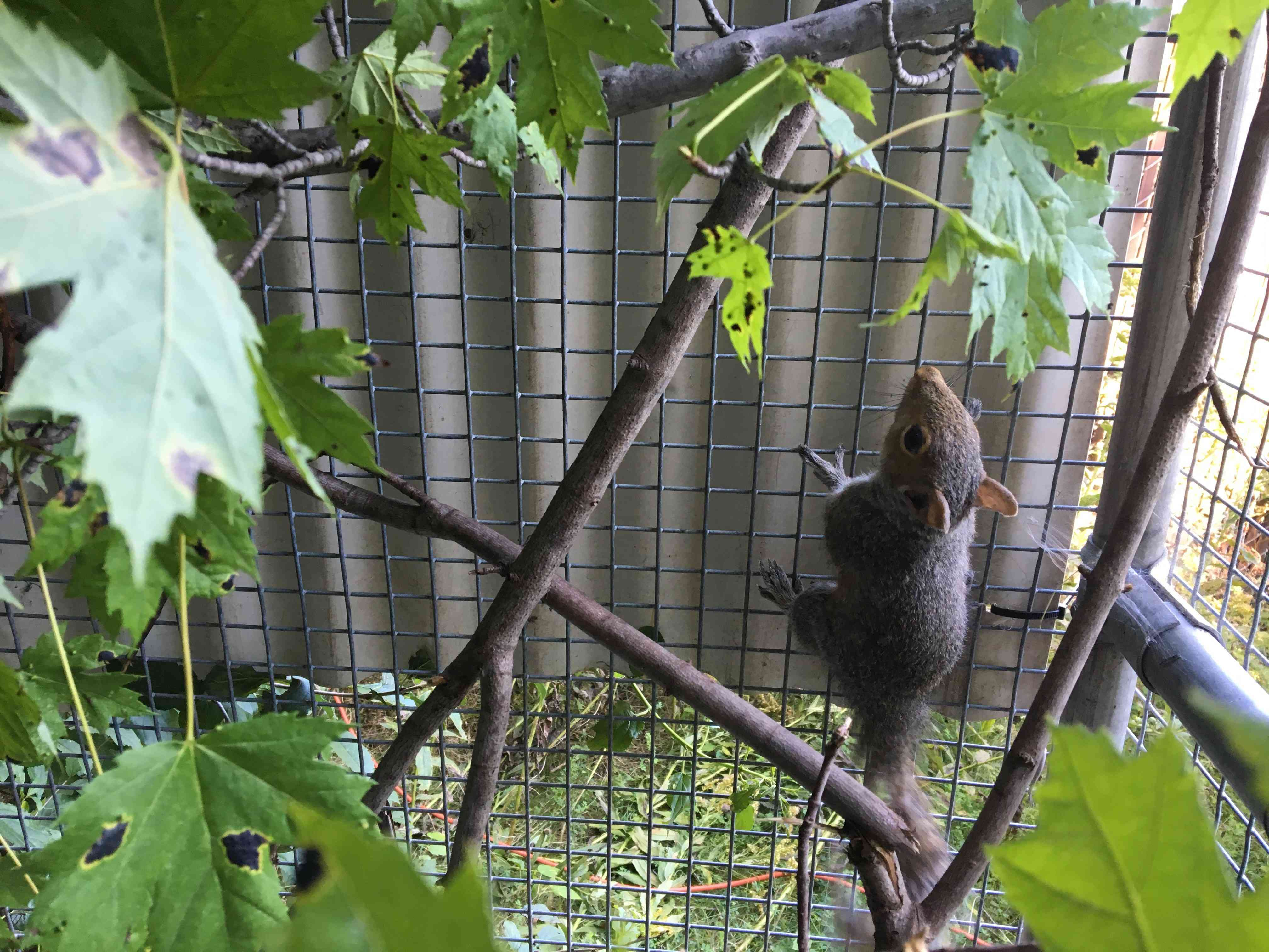 A squirrel recovering in a tree at a wildlife rehabilitation center
