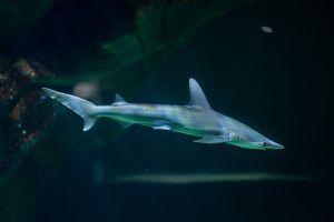 Bonnethead shark (Sphyrna tiburo)
