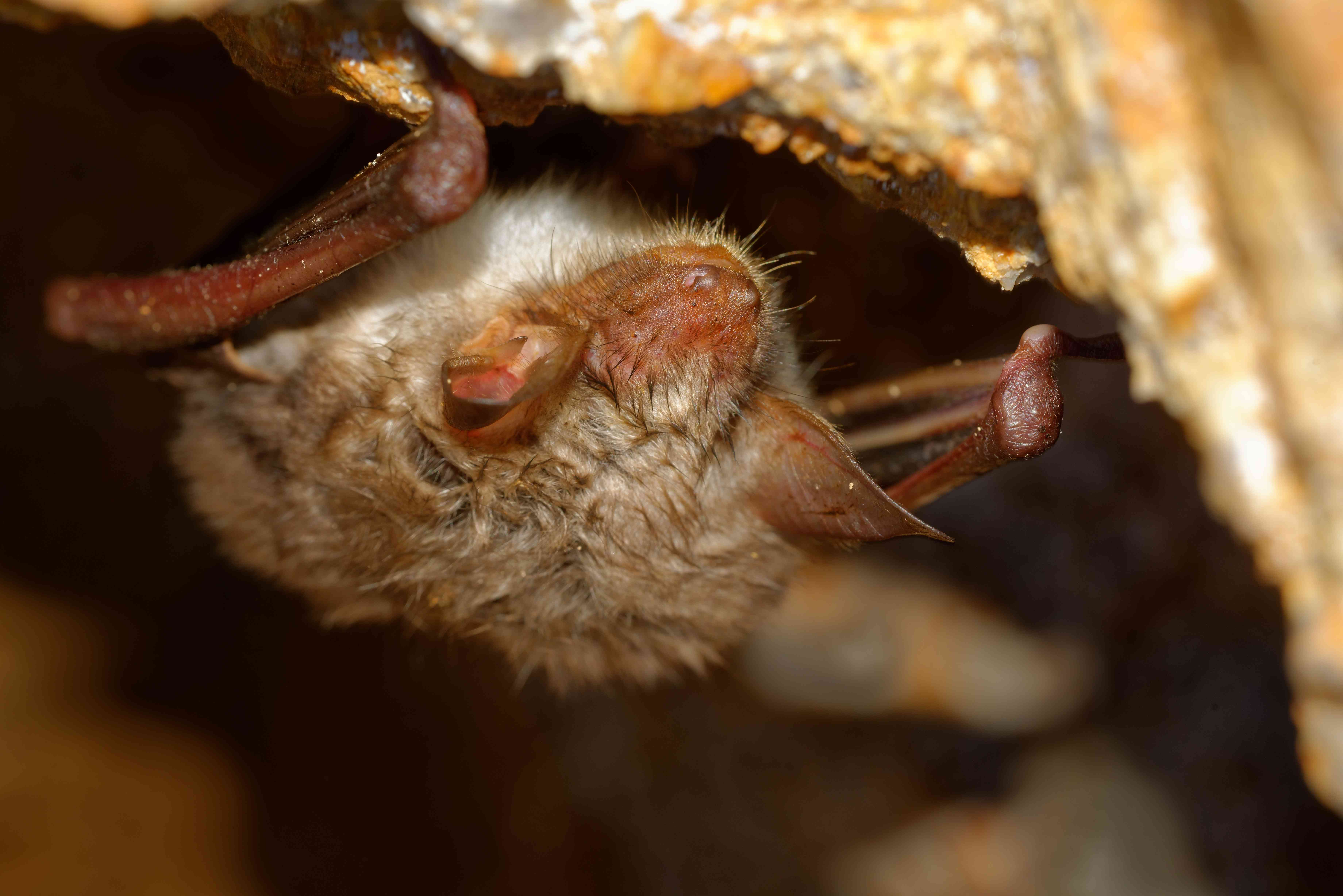 The greater mouse-eared bat, which can live up to 22 years in the wild