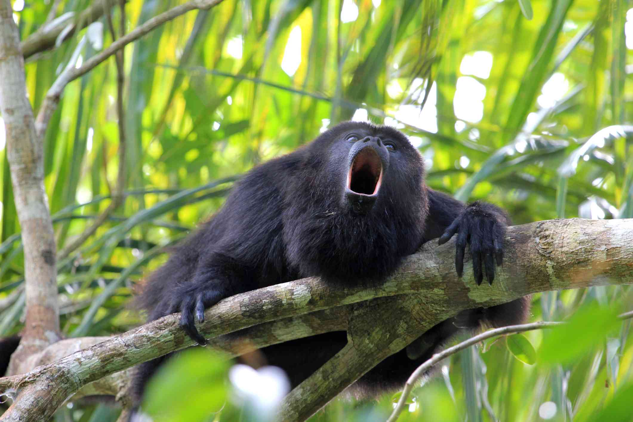 howler monkey hanging on a tree branch with its mouth open in a roar