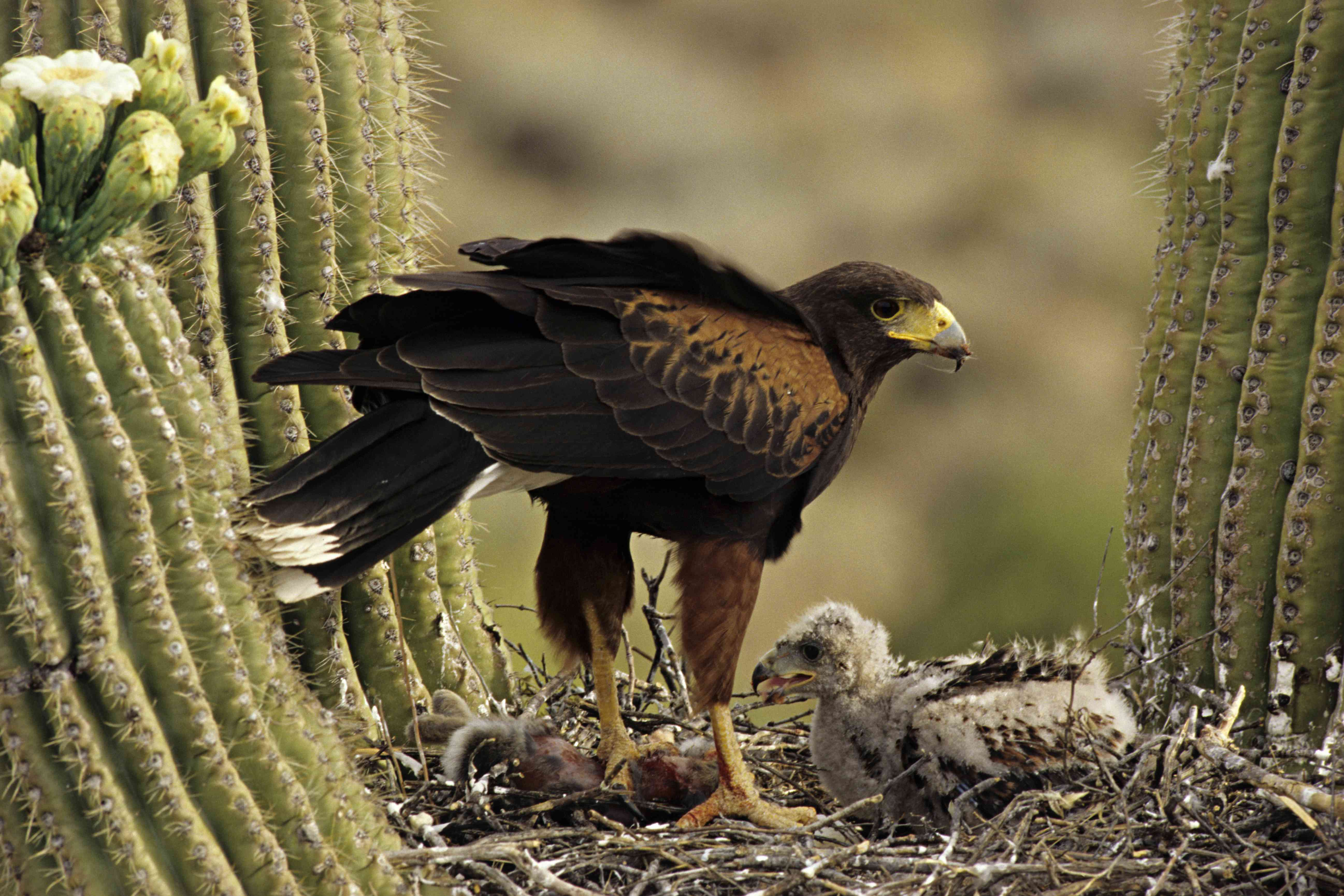 Harris Hawk, Parabuteo unicinctus, and chicks on nest in Saguaro cactus, Sonoran Desert, Arizona, USA