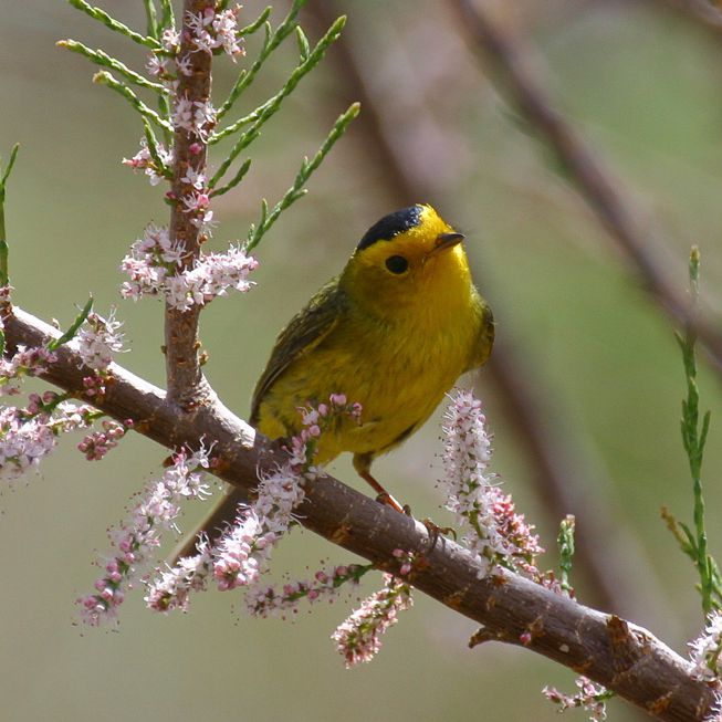 A Wilson's Warbler cocks it head while perched on a branch