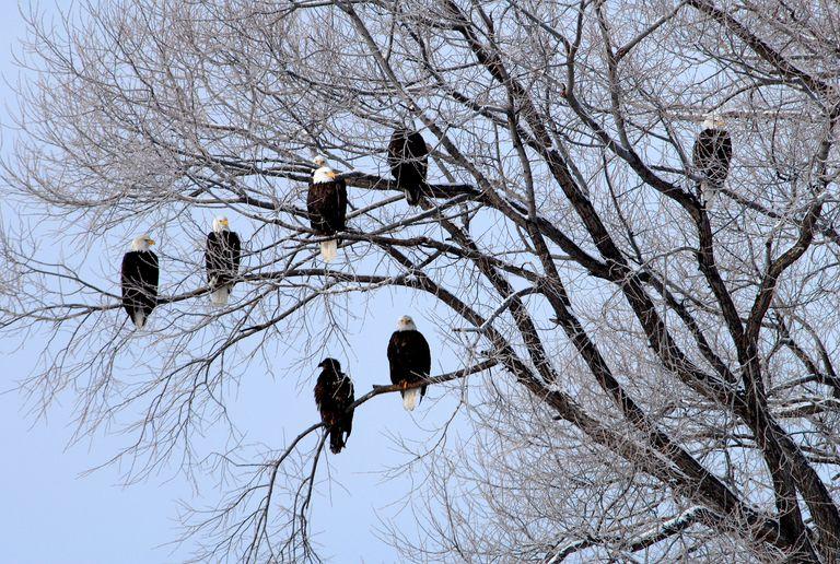 Por qué los refugios comunales son vitales para las águilas calvas