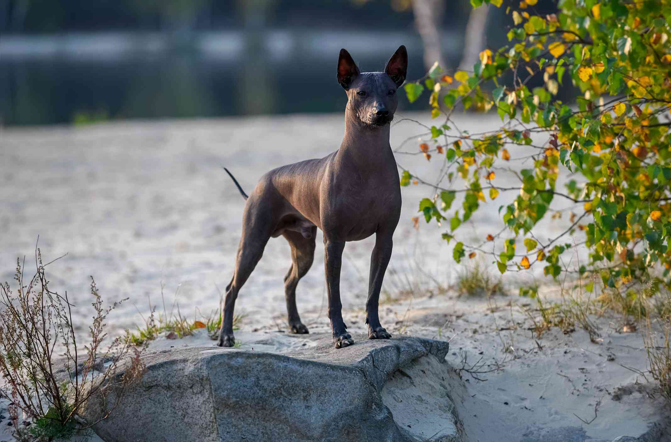 Xoloitzcuintle (Mexican Hairless Dog) standing on stone at sunset against beautiful natural landscape