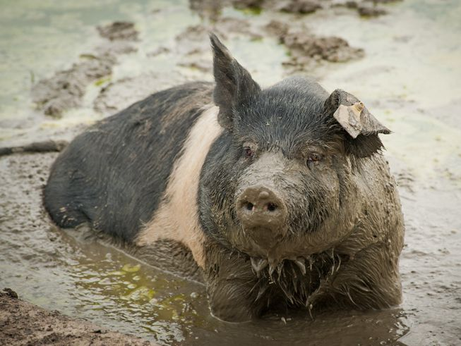A pig stands in a mud puddle, dripping mud