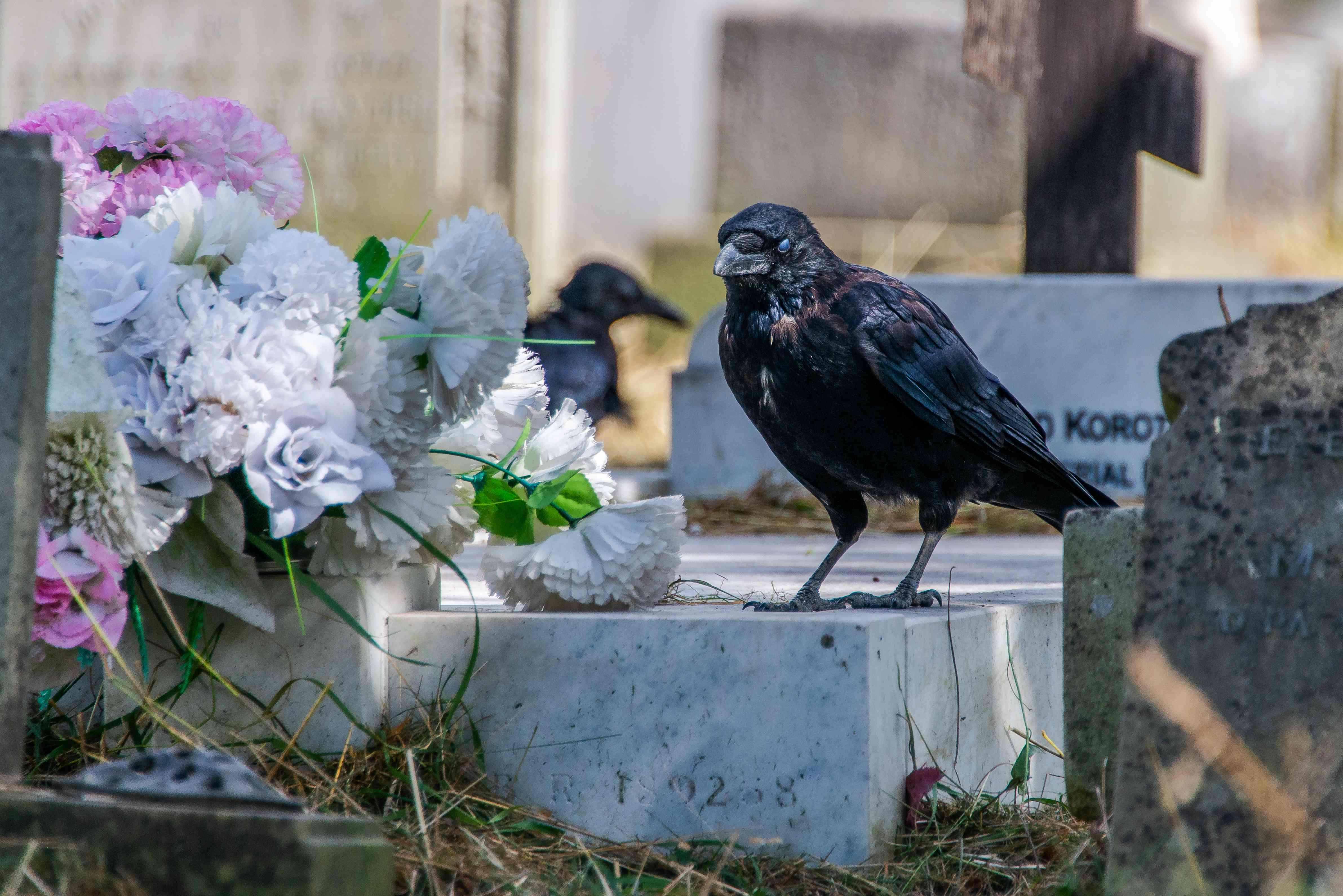crows at a graveyard