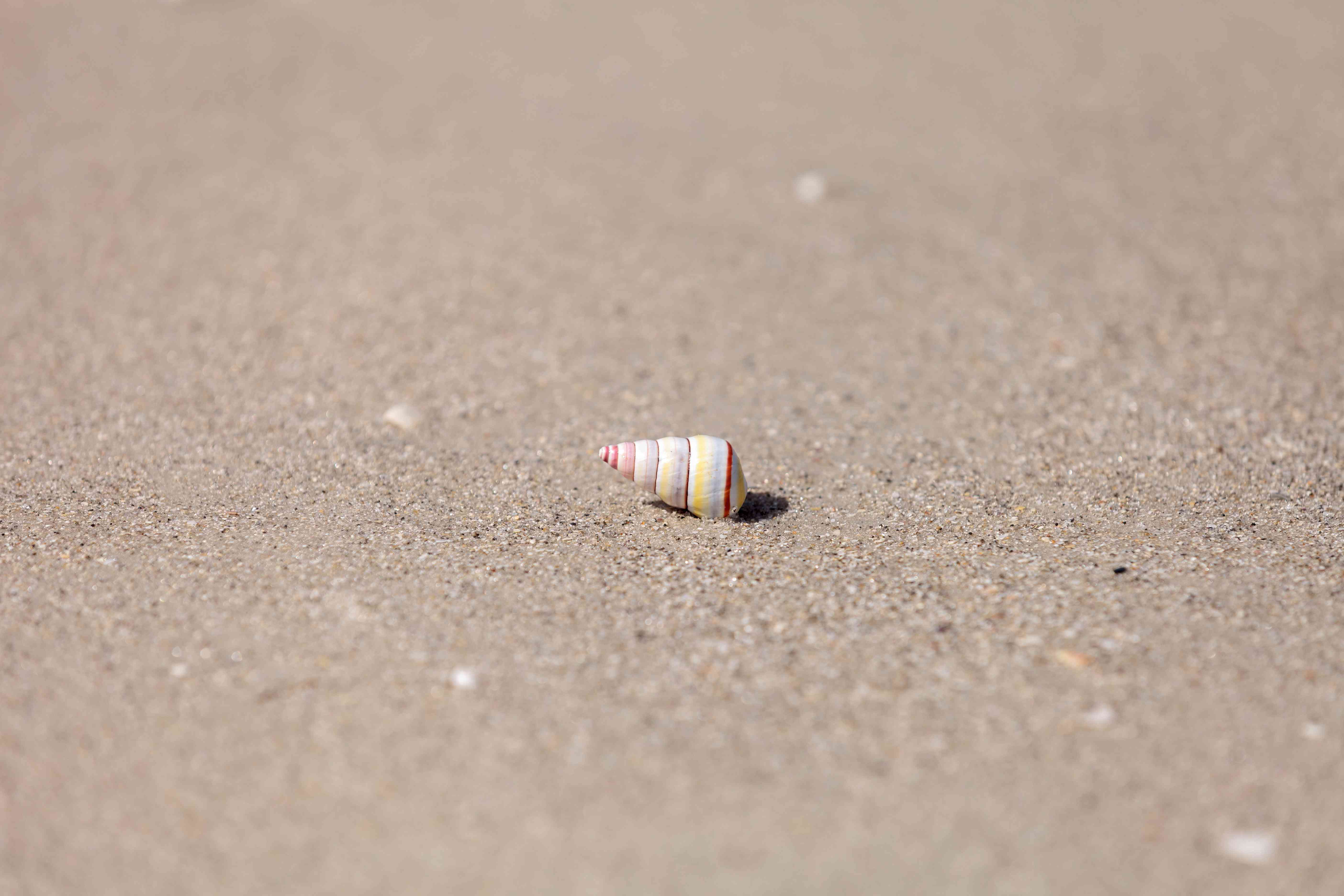 Candy cane snail shell on sand