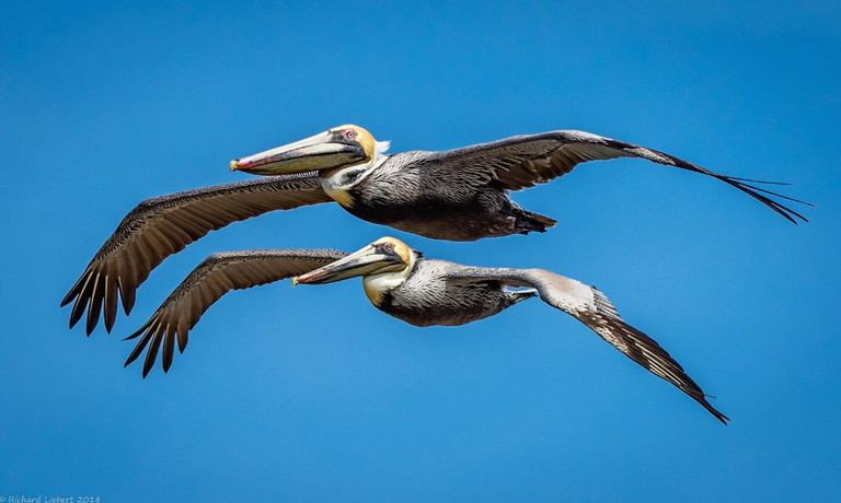 Two pelicans flying against a blue sky