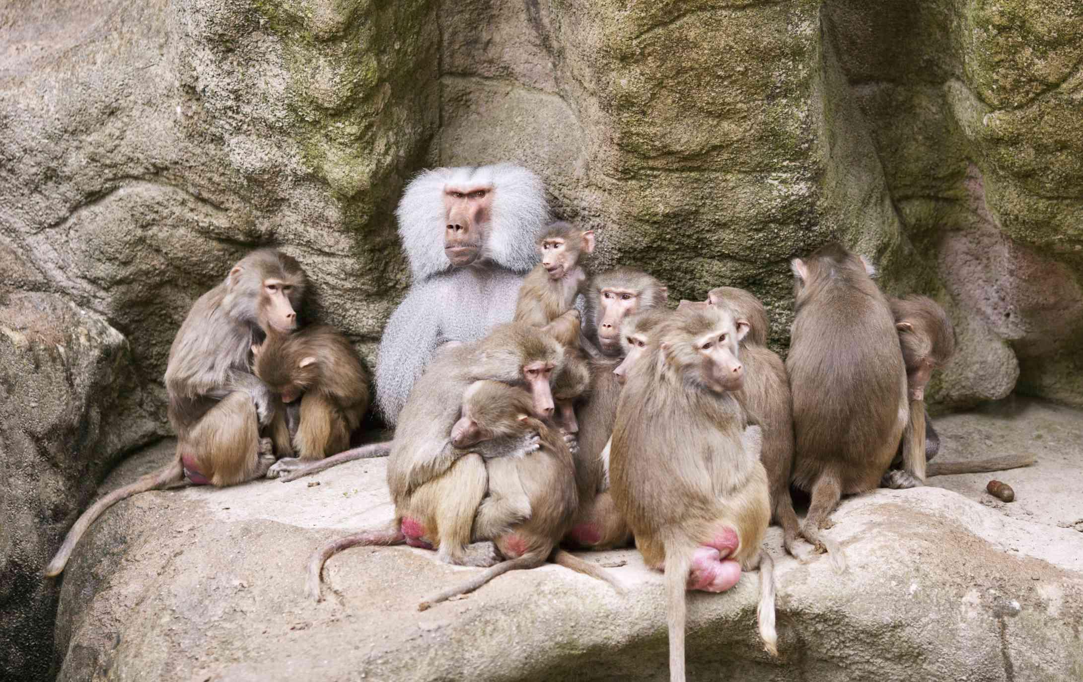 Sitting familia of sacred baboon