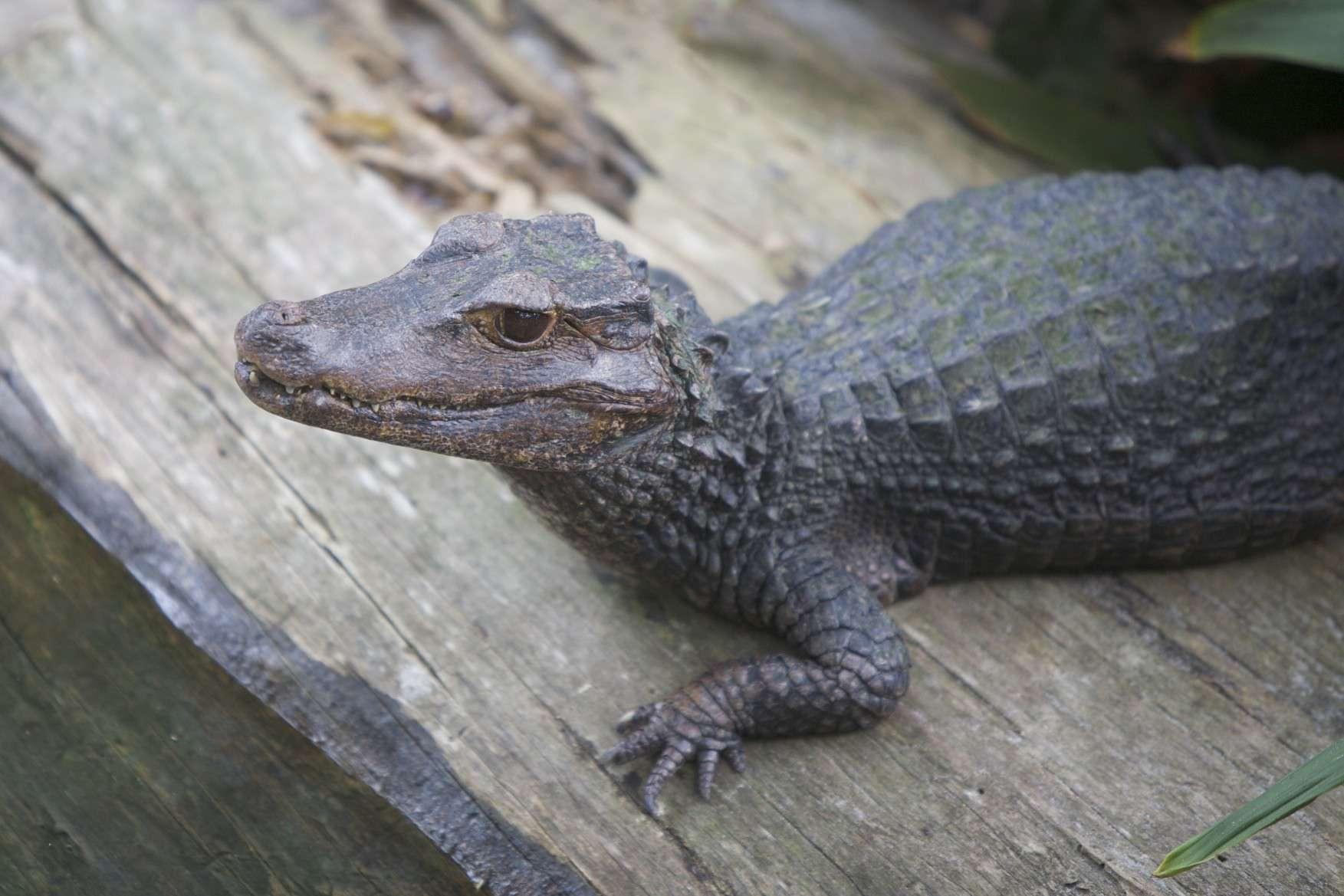 Dwarf crocodile with its head upright on a wooden board