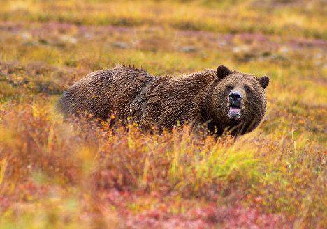 grizzly bear denali photo
