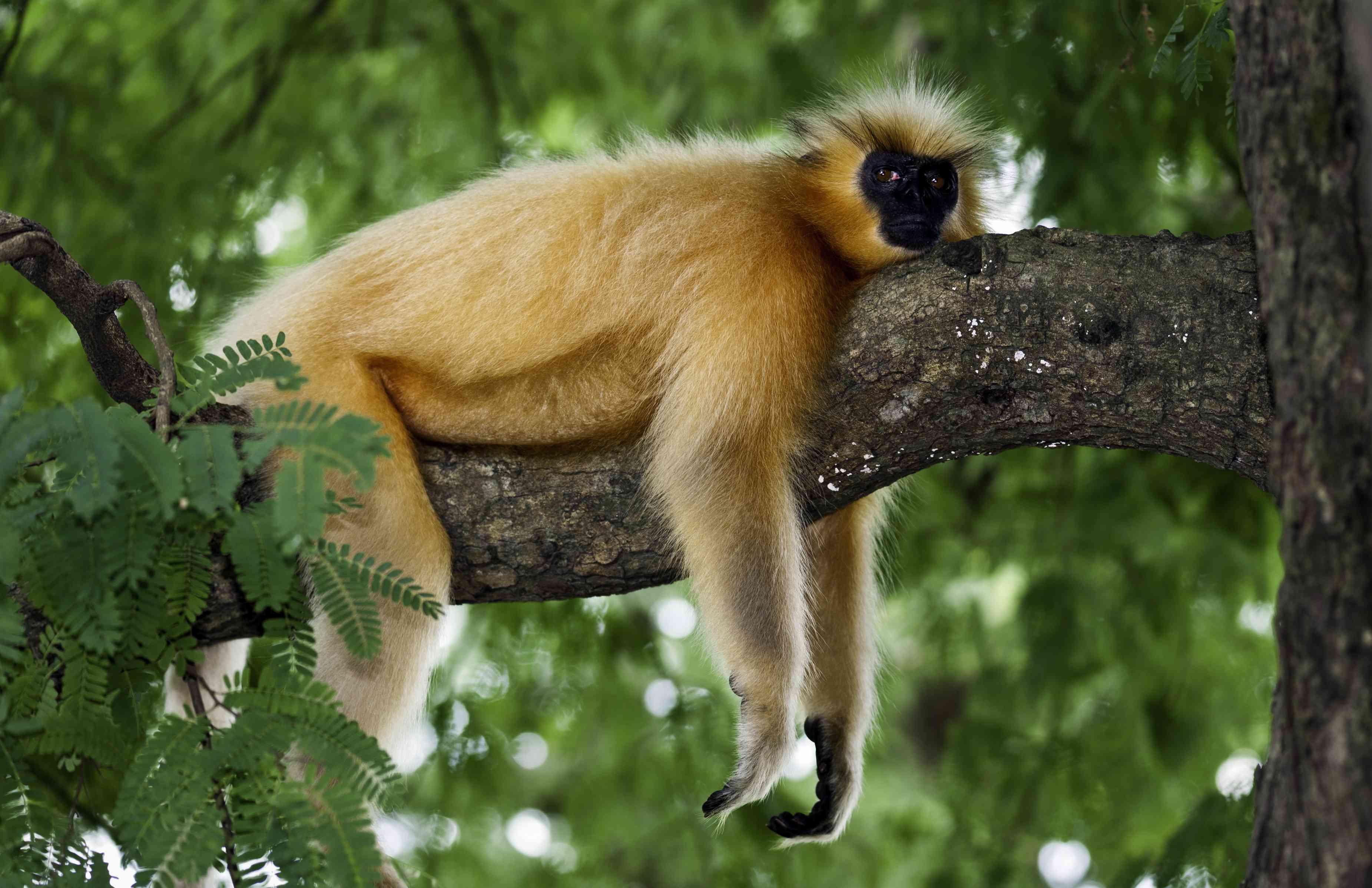 Golden langur monkey draped over tree