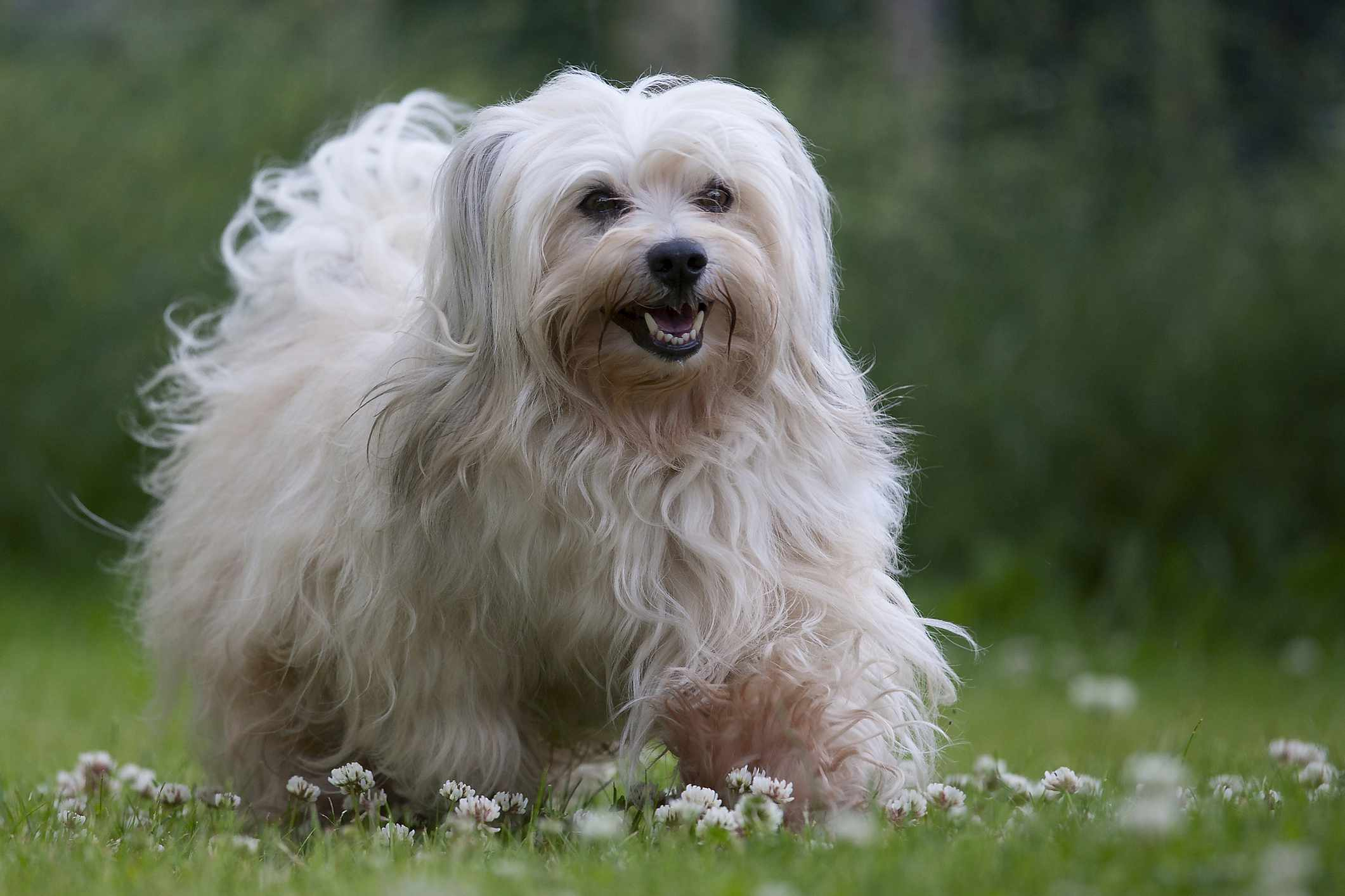 A sable colored 6 years young male Havanese dog on green grass with daisies.
