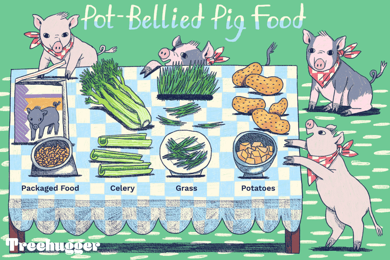 Pot-bellied pig food: packaged food, celery, grass, potatoes