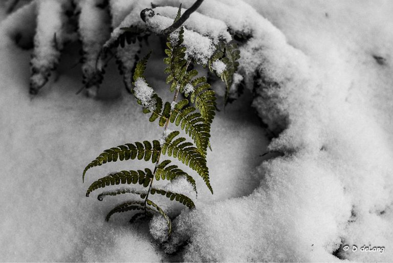 Fern plant outdoors covered in snow
