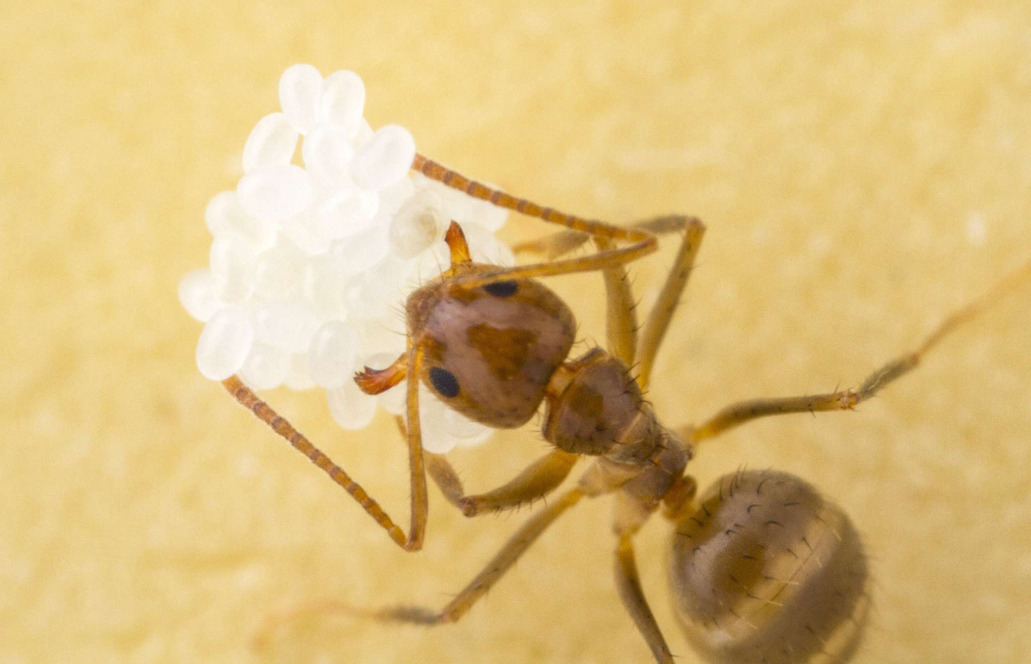 red Rasberry crazy ant with white eggs on a yellow surface