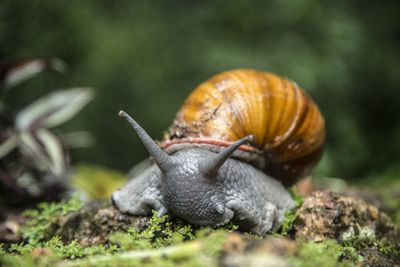 Giant African snail crawling over mossy ground